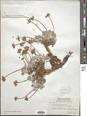 view Eriogonum ovalifolium var. ochroleucum (Small ex Rydb.) M.E. Peck digital asset number 1