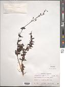 view Scrophularia eggersii Urb. digital asset number 1