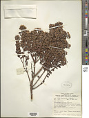 view Decaspermum alpinum P. Royen digital asset number 1