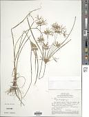 view Cyperus polystachyos Rottb. digital asset number 1