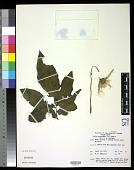view Luffa acutangula (L.) Roxb. digital asset number 1