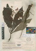 view Ardisia pseudoverticillata Merr. digital asset number 1