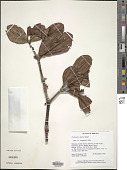view Plethiandra hookeri Stapf digital asset number 1