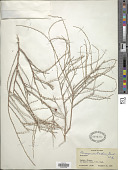 view Pteropyrum aucheri Jaub. & Spach digital asset number 1