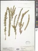 view Muraltia heisteria (L.) DC. digital asset number 1