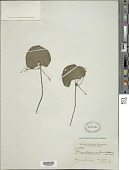 view Nymphoides indica (L.) Kuntze digital asset number 1