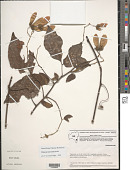 view Thinouia mucronata Radlk. digital asset number 1