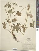 view Geranium richardsonii Fisch. & Trautv. digital asset number 1