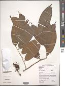 view Duguetia cauliflora R.E. Fr. digital asset number 1