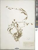 view Campanula subramulosa Jord. ex Gren. & Godr. digital asset number 1