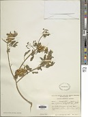 view Crotalaria pycnostachya Benth. digital asset number 1