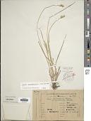 view Carex meridionalis (Kük.) Herter digital asset number 1