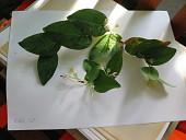 view Macleania smithiana Luteyn digital asset number 1