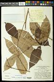 view Paullinia capreolata (Aubl.) Radlk. digital asset number 1