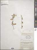 view Stegnosperma watsonii D.J. Rogers digital asset number 1