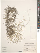 view Tillandsia usneoides (L.) L. digital asset number 1