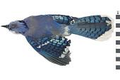 view Blue Jay digital asset number 1