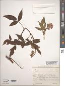view Rubus megalococcus Focke digital asset number 1