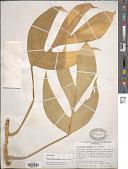 view Rhaphidophora glauca digital asset number 1