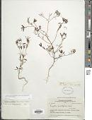 view Tagetes multiflora Kunth in H.B.K. digital asset number 1