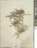 view Psorothamnus schottii (Torr.) Barneby digital asset number 1