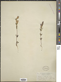 view Gentiana obtusifolia digital asset number 1