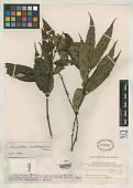 view Lasianthus caudatifolius Merr. digital asset number 1