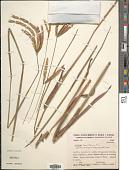 view Paspalum lanciflorum Trin. digital asset number 1