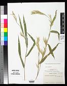 view Yushania aztecorum McClure & E.W. Sm. digital asset number 1