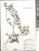 view Acanthospermum australe (Loefl.) Kuntze digital asset number 1