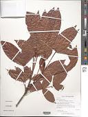 view Quiina guianensis Aubl. digital asset number 1