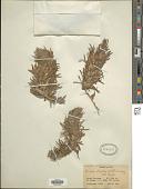 view Bungea trifida (Vahl) C.A. Mey. digital asset number 1