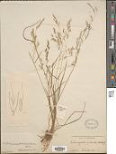 view Agrostis pilosula Trin. digital asset number 1