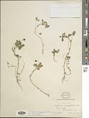 view Trifolium variegatum Nutt. digital asset number 1