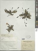 view Ruellia hygrophila Mart. digital asset number 1