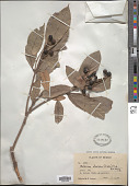 view Meliosma dentata (Liebm.) Urb. digital asset number 1