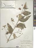 view Nyctanthes arbor-tristis L. digital asset number 1