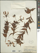 view Gloriosa virescens Lindl. digital asset number 1