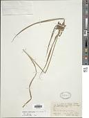 view Cyperus cyperoides (L.) Kuntze digital asset number 1