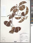 view Hippocratea volubilis L. digital asset number 1