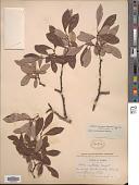 view Salix scouleriana Barratt ex Hook. digital asset number 1