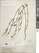 view Thelesperma megapotamicum (Spreng.) Herter digital asset number 1