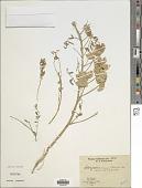 view Astragalus vagus Reiche digital asset number 1