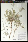 view Oenothera californica subsp. avita W.M. Klein digital asset number 1