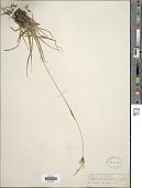view Eriophorum latifolium Hoppe digital asset number 1