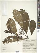 view Ossaea bracteata Triana digital asset number 1