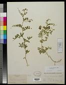 view Vicia americana Muhl. ex Willd. var. americana digital asset number 1