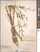 view Juncus acuminatus Michx. digital asset number 1