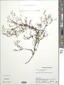 view Pectis bonplandiana Kunth digital asset number 1
