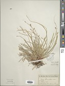 view Carex pedunculata Muhl. ex Willd. digital asset number 1
